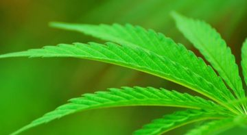 Cannabis anche Oms riflette sulla sua effettiva pericolosita