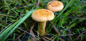 Funghi ecco come orientarsi tra velenosi e commestibili